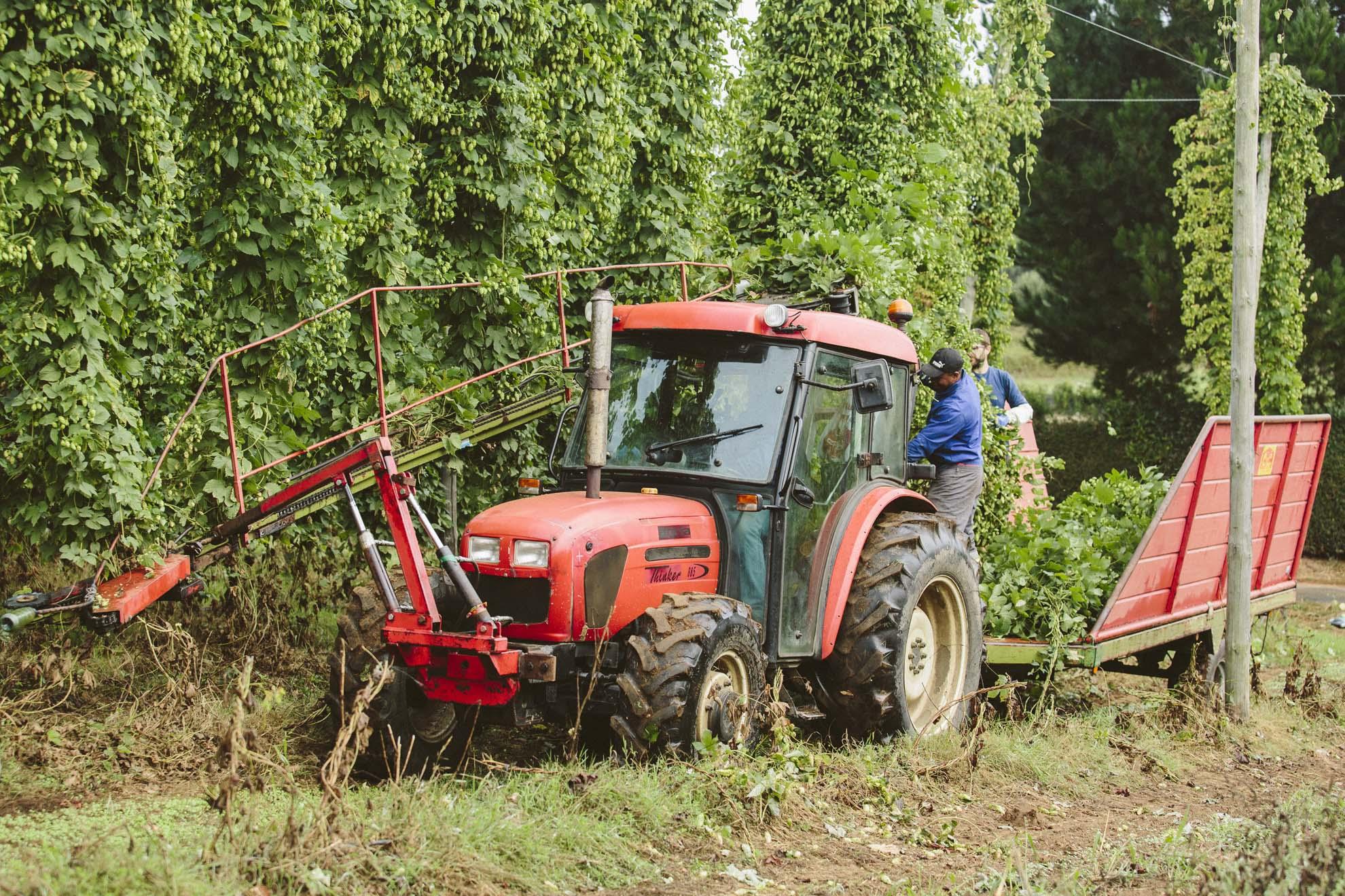 Tractor con cortadora cosechando el lúpulo