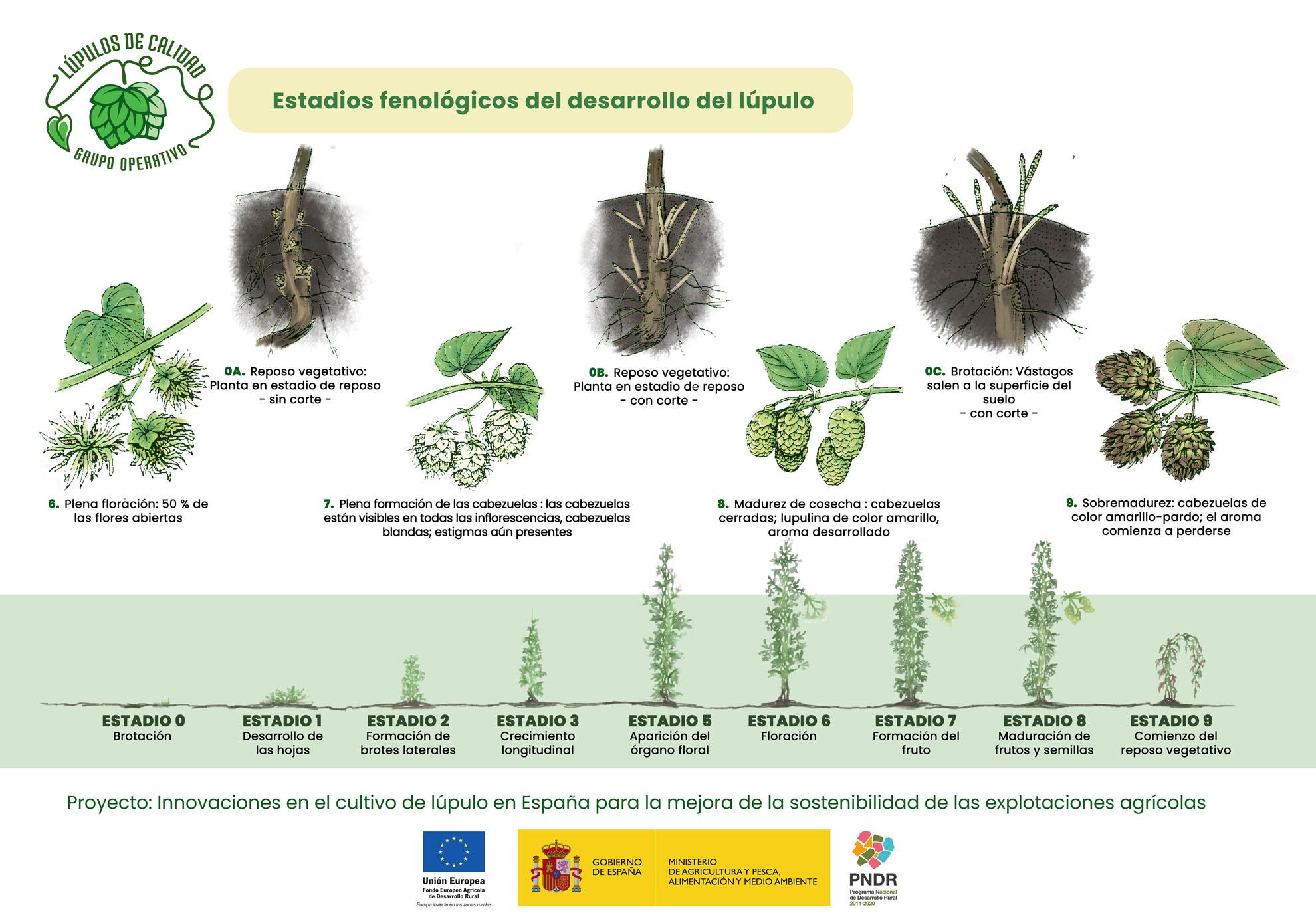 Estados fenológicos del cultivo del lúpulo