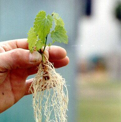 Imágen de una planta de lúpulo lista para su transplante